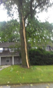 tall tree struck by lightning